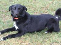 Collie - Max - Medium - Adult - Male - Dog This loving