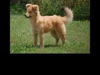 Collie - Munchkin - Medium - Baby - Female - Dog