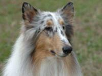 Collie - Murphy - Medium - Young - Male - Dog He?s so
