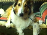 Collie - Murray - Large - Senior - Male - Dog Note: If