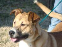 Collie - Pedro- Urgent!!! - Large - Young - Male - Dog