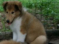 AKC Rough Coat Collie puppies. Beautiful. Just like