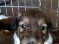 Beautiful Collie Puppies for sale, bith parents on