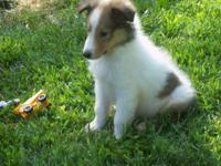 Cute CKC Collie puppies searching for loving houses. We