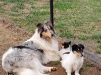 AKC FULL REGISTRATION WHITE COLLIE WITH TRI COLOR