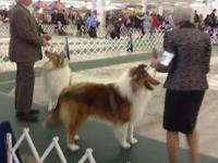 NE rough collie puppies of all colors expected on June