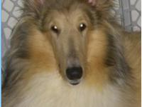 Tessa is a merle factored sable & white collie.loving