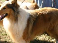 Meet AKC Mighty Bo! He's a sable and white proven,
