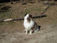 Collie - Stryker - Large - Adult - Male - Dog Handsome