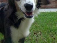 Collie - Toby - Medium - Adult - Male - Dog Hi!!! My
