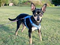 COLLINS's story Collins is a handsome Min Pin male that