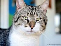 Colonel's story 3 yr DSH Brown Tabby Male Neutered