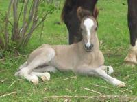Dimanche - Spanish Mustang aka Colonial Spanish colt