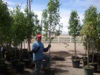 Shade, Flowering and Evergreen Trees for Retail, HOA's
