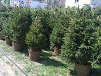 Colorado Spruce, Black Hills Spruce, Norway Spruce $55