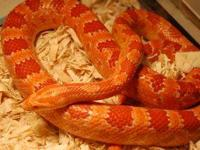 1 adult orange male 3 1/2 years old and 1 adult yellow