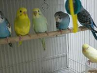 I have beautiful parakeets for sale. They are young.