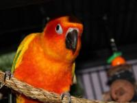 Absolutely beautifully colored Sun Conure with