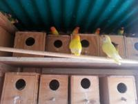 Large variety of birds for sale. This includes Yellow