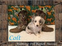 Ranch Raised ASDR Toy / Mini Aussie Puppies. Colt ~