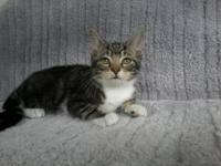 Colt's story Meet Colt! This sweet white tabby boy was