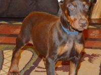 Colton is a red/rust Champion sired Doberman male , his