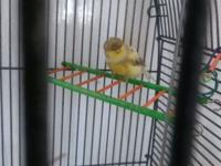 Cinnamon variegated Columbus Canary BIG comes with food