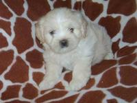 Havanese / Shih Tzu also known as a Hava/Tzu Born