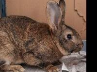 Comet is an adult, male, American rabbit. He was left