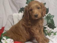 Looking for a medium Labradoodle buddy? We are planning