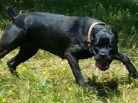 Hello from Grateful Cane Corso. We are proud to
