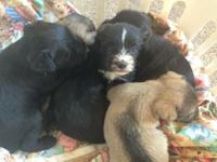 Miniature schnauzer puppies due next week. Black with a