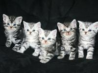 Stunning pure-blooded American Shorthair silver tabby