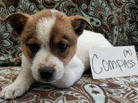 Compass is a Corgi/Pit mix male 9 week old pup. These