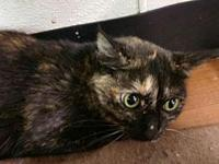 My story 3-4 year old Tortie Domestic Shorthair.The