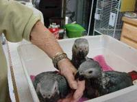 Lay away your Congo African Gray Ready for you in early