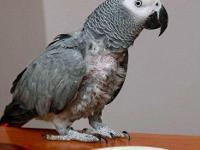 Congo african gray very talkative & inteligent 2 years