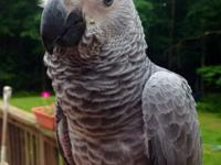 We are taking deposits on baby congo african greys. We