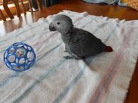 One of these congo african grey babies is available.