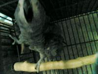 Description congo african grey