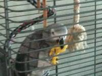 Congo African Grey parrot, female and micro-chipped. 7