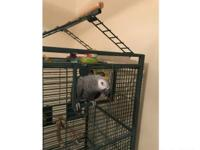 Male African grey parrot approx 2 years old. I have had