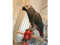African grey fully tame says loads of words and