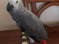 I have a 1 year old congo african grey male for sale.