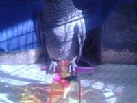 1 Congo African Grey babies available for deposit.