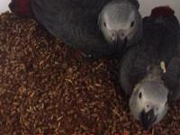 I got several Congo grey babies available for 1300