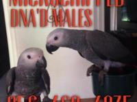 I got 3 male Congo grey babies available for 1300 comes