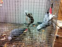 I have breeding pair(s) Congo African Greys. These are