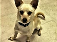 Conner is a 2 year old happy little Chihuahua.  He was