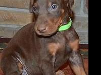 Conor is a red/rust Champion sired Doberman male , his